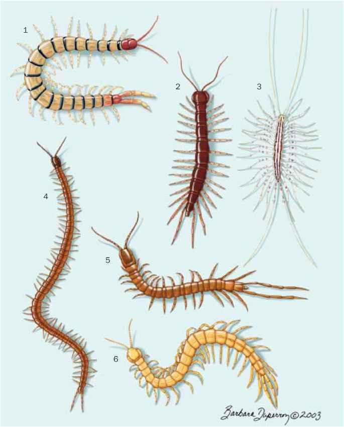 House Centipede Bites Humans