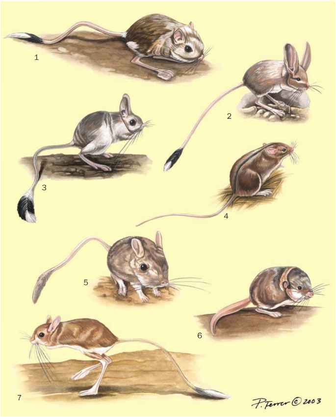 Birch mice jumping mice and jerboas