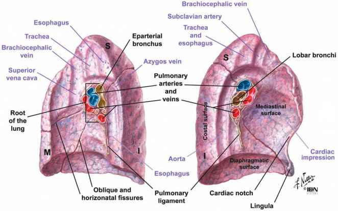 Nerves Of The Thoracic Wall - Fruits and Vegetables