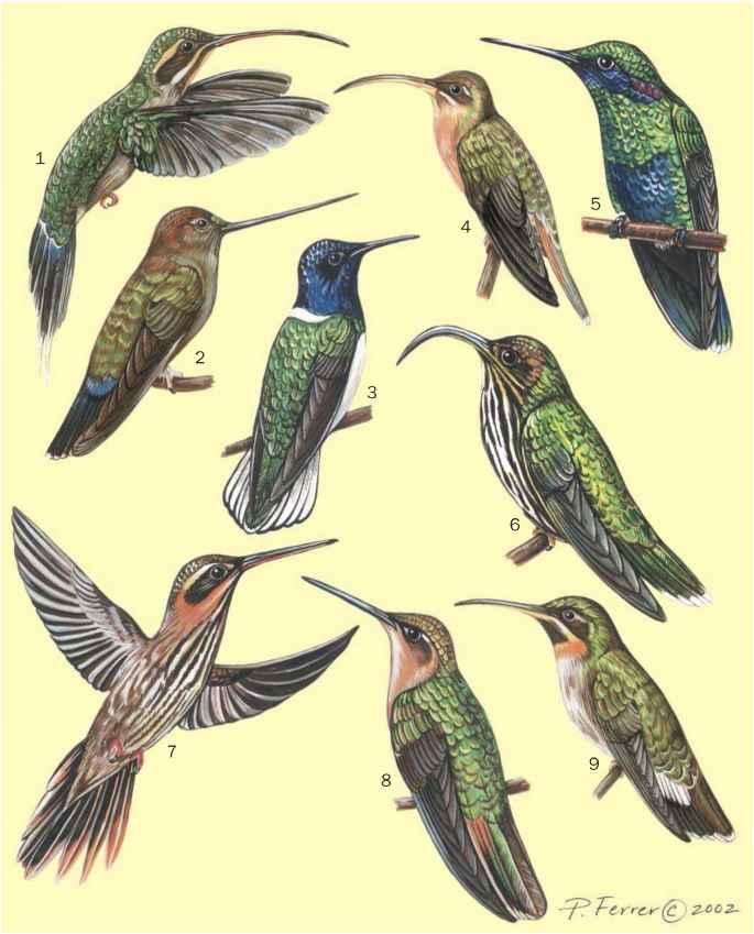 Colibri Scientific Illustration