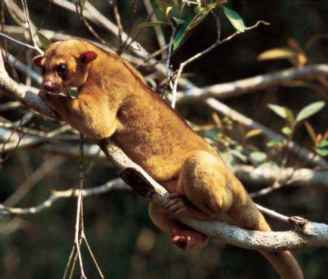 Kinkajou Eat Fruit
