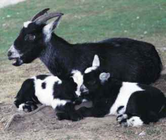 Boer Goats Without Horns