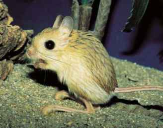 Jerboa Animal Images