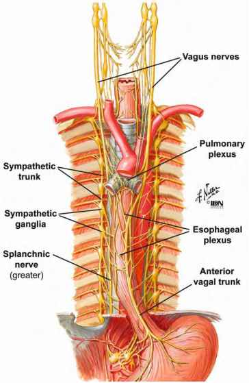 Posterior Mediastinum Tubes And Nerves