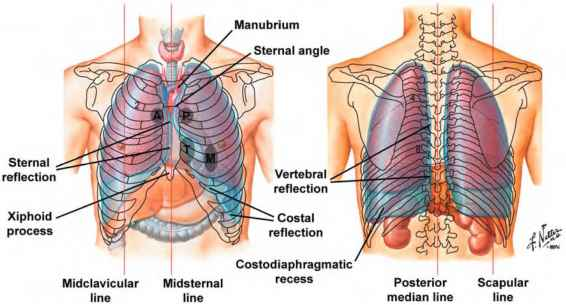 Pictures Anterior Chest Landmarks