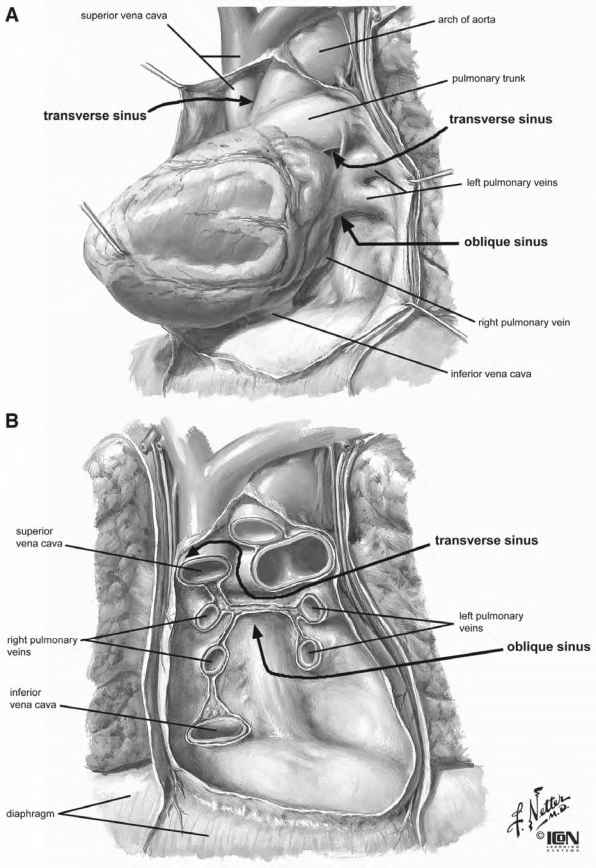Internal Anatomy The Heart
