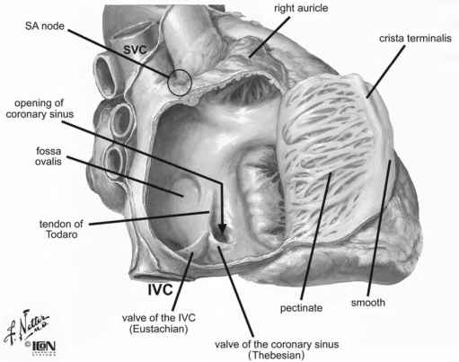 Right Atrium Internal Features