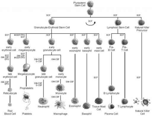 Hematopoietic Tree