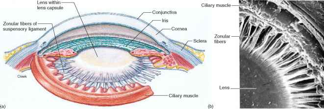 Ciliary Muscle
