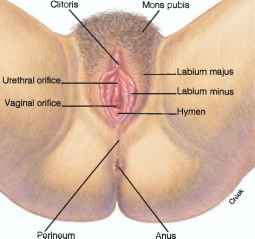 Vulva Woman External Sex Organs